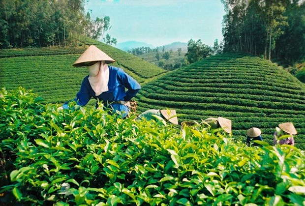 Les exportations du the vietnamien se portent bien depuis janvier hinh anh 1