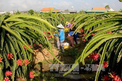 Le Vietnam exporte pour la premiere fois des pitayas en Australie hinh anh 1