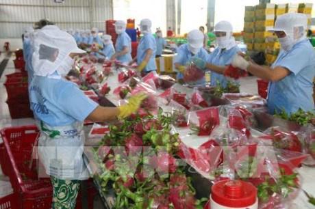 Des pitayas vietnamiens vendus en Australie hinh anh 1
