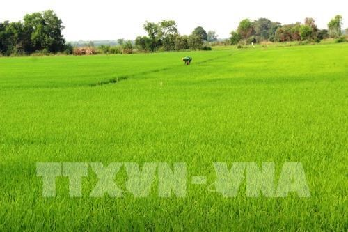 Riziculture: Hau Giang experimente des produits bio sud-coreens hinh anh 1