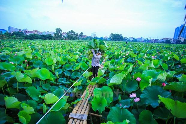 Hanoi : le the au lotus fait son apparition dans les circuits touristiques au lac de l'Ouest hinh anh 1