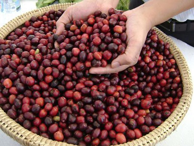Les exportations nationales de cafe beneficient des cours eleves hinh anh 1