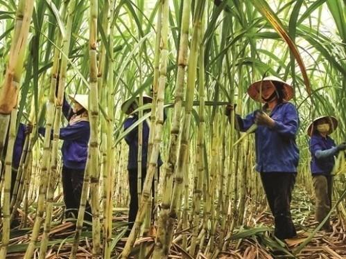 Le sucre du Vietnam exporte vers 28 pays hinh anh 1