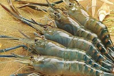 Une forte croissance est prevue pour les exportations de crevettes hinh anh 1