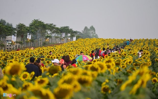 Bientot le 2e Festival du tournesol de Nghe An hinh anh 1