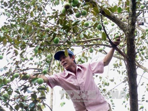 Le premier lot de pommes de lait de Tien Giang est exporte aux Etats-Unis hinh anh 1