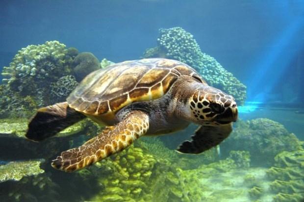 Lancement d'un plan de sensibilisation sur les tortues marines hinh anh 1