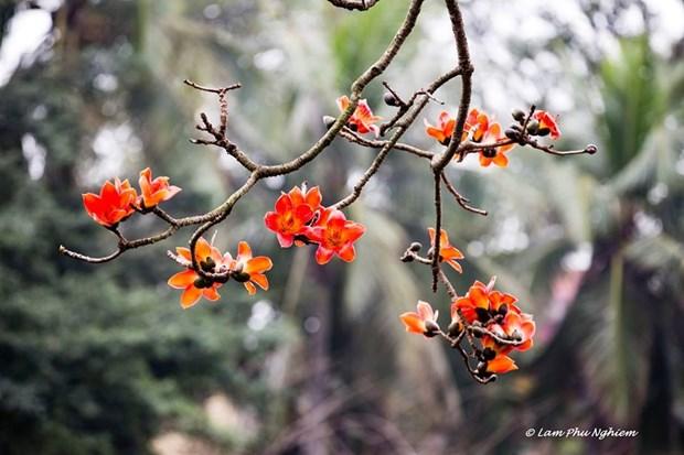 Le kapokier, la beaute culturelle de la campagne du Nord Vietnam hinh anh 1