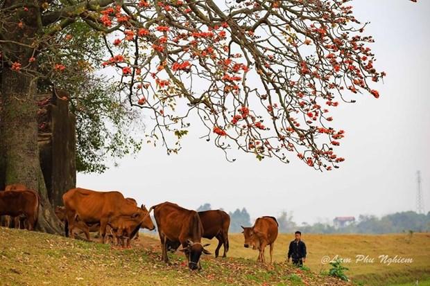 Le kapokier, la beaute culturelle de la campagne du Nord Vietnam hinh anh 6