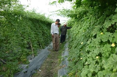 HCM-Ville : Renforcer le developpement des zones agricoles hi-tech dans les regions peripheriques hinh anh 1