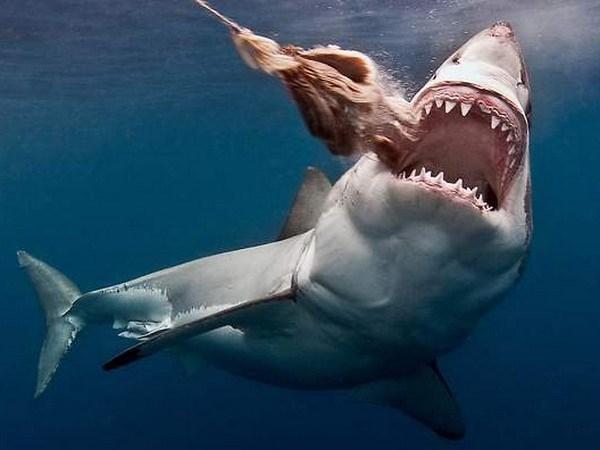 L'ambassade du Vietnam au Chili informe du sechage des nageoires de requin hinh anh 1