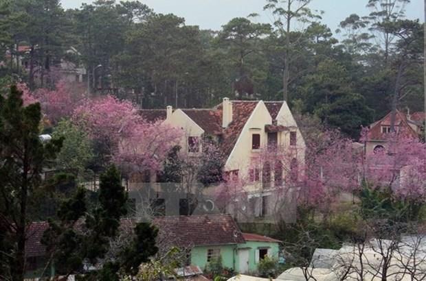 Ouverture de la 1ere fete des fleurs de cerisier de Da Lat hinh anh 1