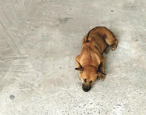Le chien de Phu Quoc, une fierte du Vietnam hinh anh 1