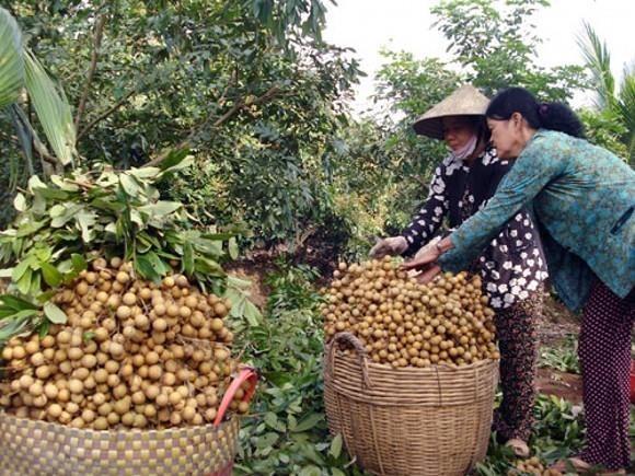 Les longanes frais vietnamiens pourraient etre expedies en Australie a partir de 2019 hinh anh 1