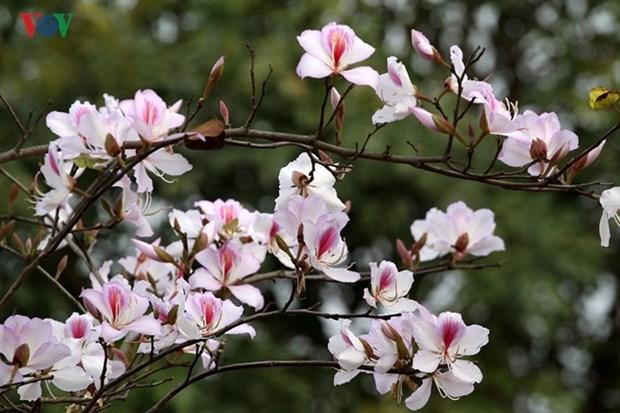Ouverture de la fete de la fleur de bauhinie 2018 a Son La hinh anh 1
