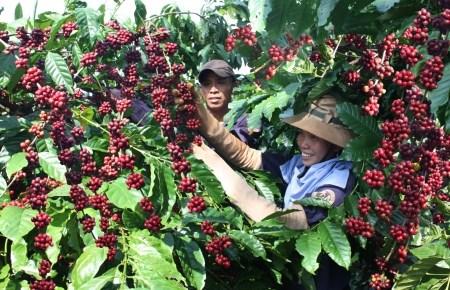 Vers un developpement durable de la filiere cafe hinh anh 1