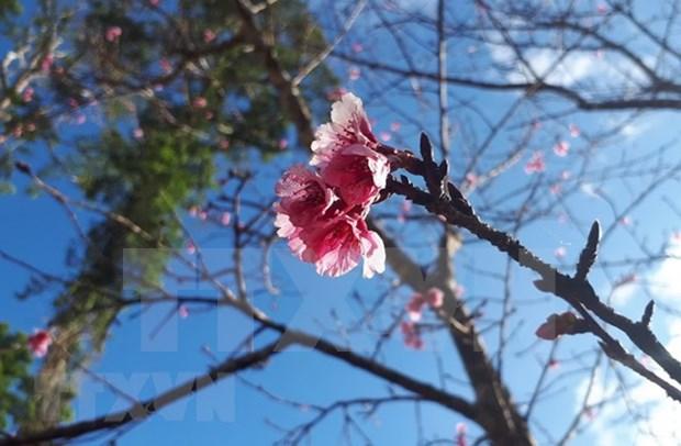 Plantation de 200 cerisiers japonais dans un parc de Bac Ninh hinh anh 1