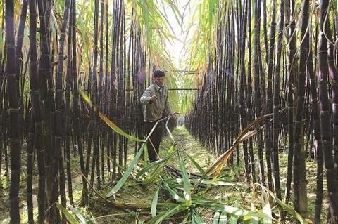 L'industrie sucriere cherche a mieux s'adapter aux enjeux d'aujourd'hui hinh anh 1