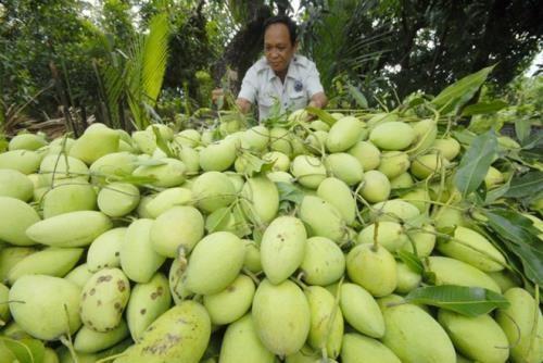 Des mangues vietnamiennes seront exportees vers Singapour hinh anh 1