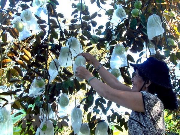 Opportunite en or pour les pommes de lait vietnamiennes aux Etats-Unis hinh anh 1