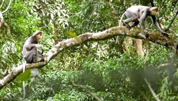 Quang Nam lance un projet de protection de primates en voie de disparition hinh anh 1