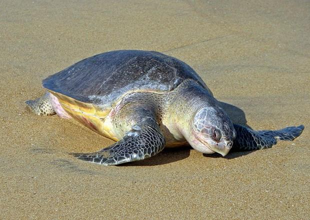 Une tortue olivatre est relachee a la mer hinh anh 1