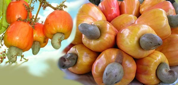 Bientot la 10e conference internationale sur la noix de cajou dans la ville de Ha Long hinh anh 1