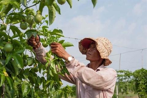 La mangue australienne et le fruit de la passion reunis sur le meme sol a Tay Ninh hinh anh 2