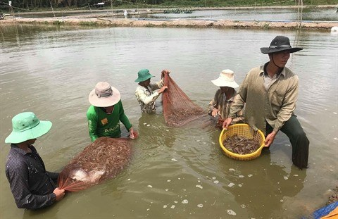 Expansion de la crevetticulture bio dans le delta du Mekong hinh anh 1