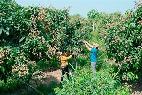 Hai Duong: une bonne saison pour les longanes hinh anh 1