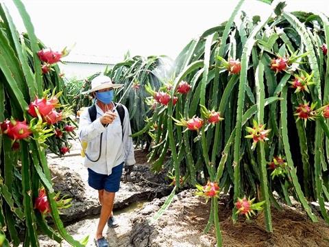 Le fruit du dragon, un filon economique a Tien Giang hinh anh 2