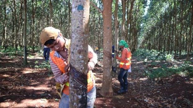 Le Cambodge exporte plus de 100.500 tonnes de latex en 7 mois hinh anh 1