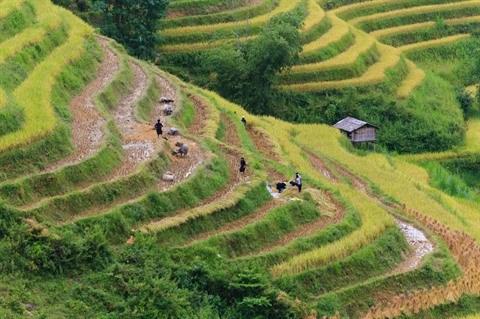 Hoang Su Phi a la saison de recolte du riz hinh anh 1