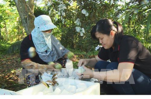 Tien Giang veut exporter 400 tonnes de pommes de lait vers les Etats-Unis hinh anh 1