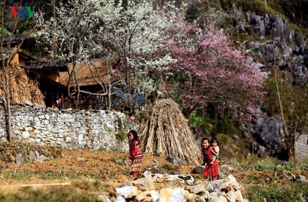 Festival des fleurs de pecher sur le plateau karstique de Dong Van hinh anh 1