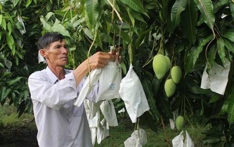 Vinh Long : Cooperation dans l'exportation de mangues vers le marche americain hinh anh 2
