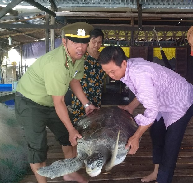 Ca Mau : une tortue imbriquee rendue a la nature hinh anh 1