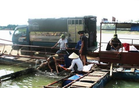 L'elevage d'Hemibagrus guttatus en vogue a Phu Tho hinh anh 1