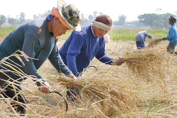 Thailande: le systeme de garantie des prix du riz sera mis en œuvre en octobre hinh anh 1
