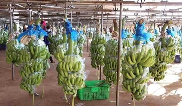 HAGL Agrico expedie sa premiere cargaison de bananes a partir du Cambodge vers la Chine hinh anh 1