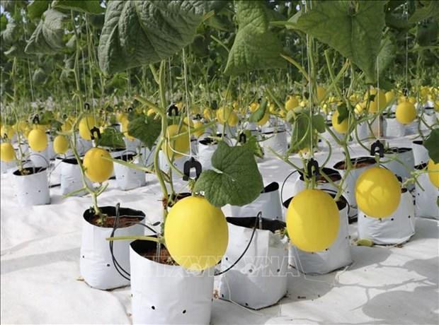 Ninh Thuan promeut l'application des sciences et technologies dans la production agricole hinh anh 1