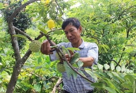 Vinh Phuc : cultiver les pommes-cannelle pour sortir de la pauvrete hinh anh 1