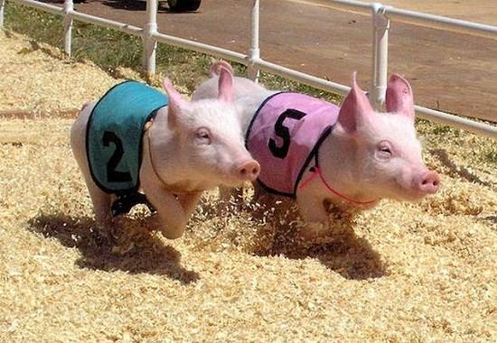 Des courses de cochons a Can Tho hinh anh 1