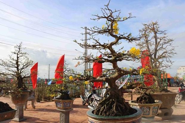 Les villages d'abricotiers de Nhon An a l'approche du Tet hinh anh 1