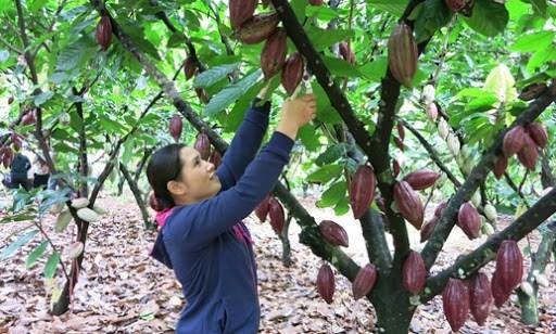 Ba Ria – Vung Tau: developper la culture bio du cacaoyer hinh anh 1