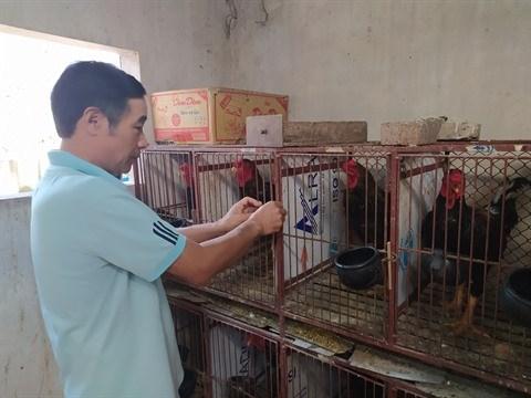 Cooperation vietnamo-belge : developper l'elevage de races locales de poulets avec succes hinh anh 2