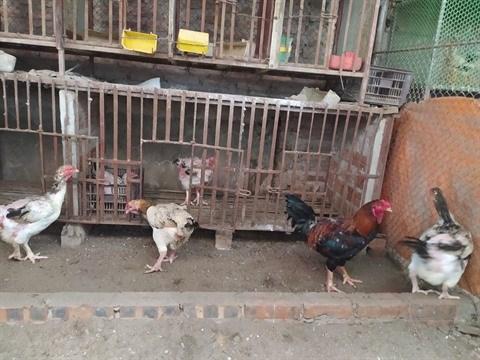 Cooperation vietnamo-belge : developper l'elevage de races locales de poulets avec succes hinh anh 1