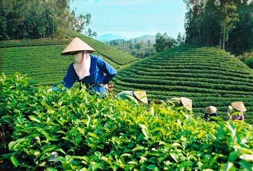 Instauration de marques pour le the vietnamien hinh anh 1