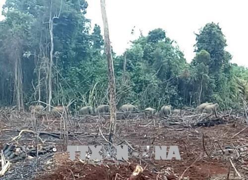Dong Nai: les gardes-forestiers travaillent pour surveiller les elephants affames hinh anh 1