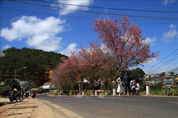 Les cerisiers illuminent la ville de Da Lat hinh anh 1